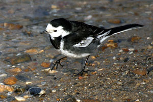 Pied Wagtail by Kevin Law (source Wikimedia, Creative Commons License)