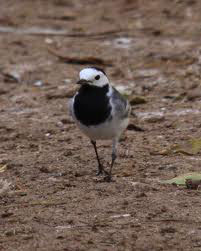 Pied Wagtail by Tony Hisgett (source Wikimedia, Creative Commons License)