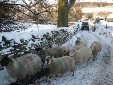 winter-in-bishopdale-sheep